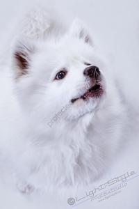 Hundeporträt - Fila-20