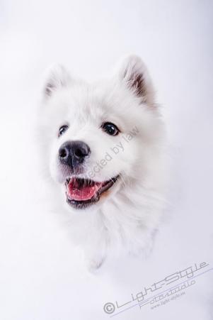 Hundeporträt - Fila-22