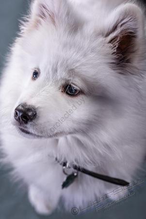 Hundeporträt - Fila-6