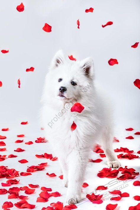 Hundeporträt Fila 8 800x1200 - Unsere haarigen Lieblinge - tierportraets, portraets, besondere-portraets, allgemein - Tierfotos, Hundeporträts, Geschenke