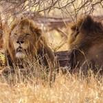 Südafrika 2019 2434 - Die wilde Bestie ;-) - tierportraets, portraets, allgemein - Tierfotos, Hundeporträts, Hunde
