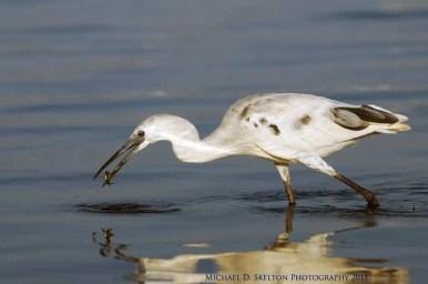 little blue heron, white form