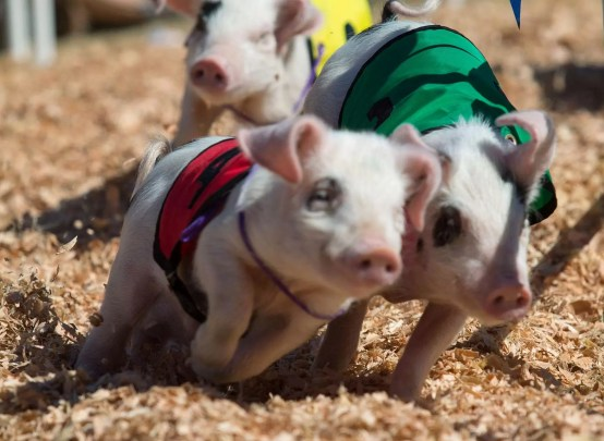 "Again, don't mistake this for motion blur. In this pig race, I simply missed focus. Note that the back feet and flying woodchips of the ""red"" pig are tack sharp."
