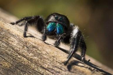 Jumping Spider in Myakka