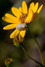 pine woods tree frog on sunflower bloom