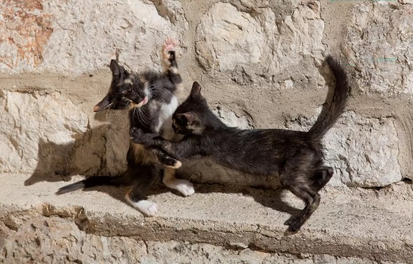 dubrovnik kittens playing