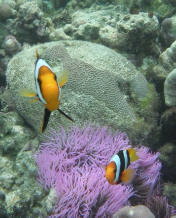 Gizo - Purple anemone with clown fishes