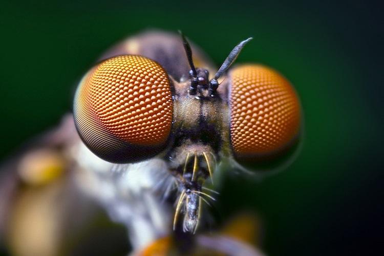 Yeux de la mouche