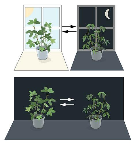 Horloge biologique interne - Expérience de Jean-Jacques d'Ortous de Mairan sur les plantes de Mimosa