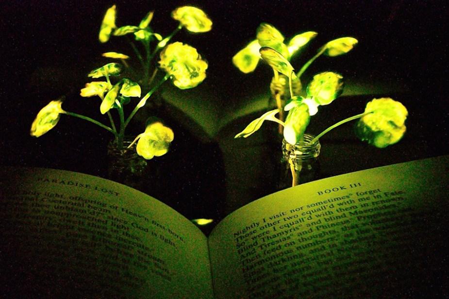 Plantes lumineuses nanobioniques, la luciole inspire le MIT