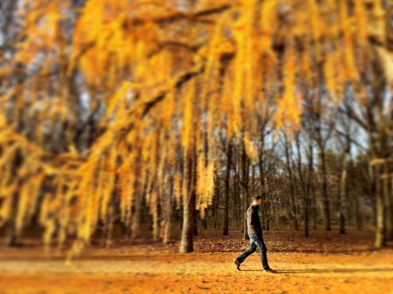 #paracegover A imagem mostra um homem caminhando sob árvores totalmente amarelas; as últimas folhas sobreviventes do outono. A luz do sol faz tudo ficar dourado. — in Tiergarten, Berlin.