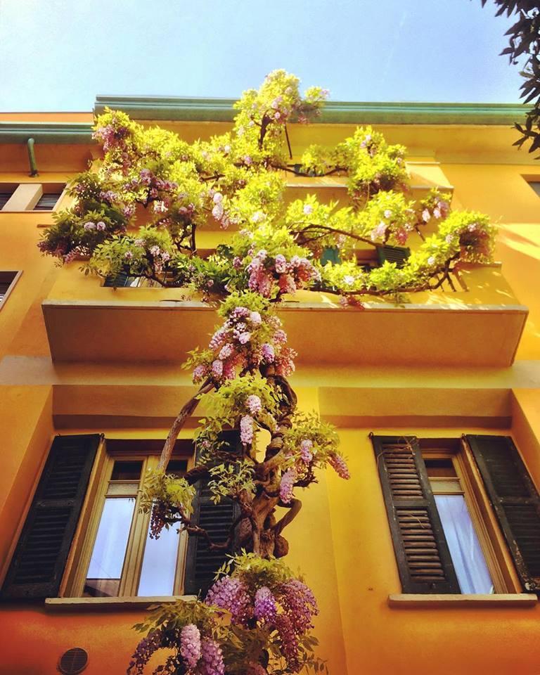 #paracegover Descrição para deficientes visuais: a imagem mostra um tronco florido de glicíneas subindo pelas paredes de um prédio amarelo.