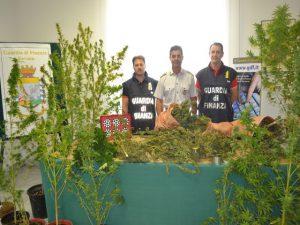 Savona, Gdf ritrova 36 piante di marijuana tra la vegetazione di Quiliano
