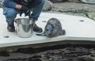 Pesto, il cucciolo di foca
