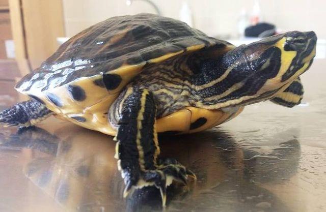 tartarughe d 39 acqua dolce orecchie gialle ora On lago per tartarughe