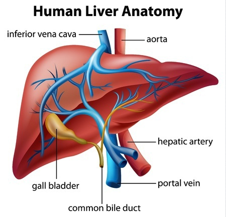 Liver and Gall Bladder - Lilias Ahmeira - Holistic Medicine Practitioner