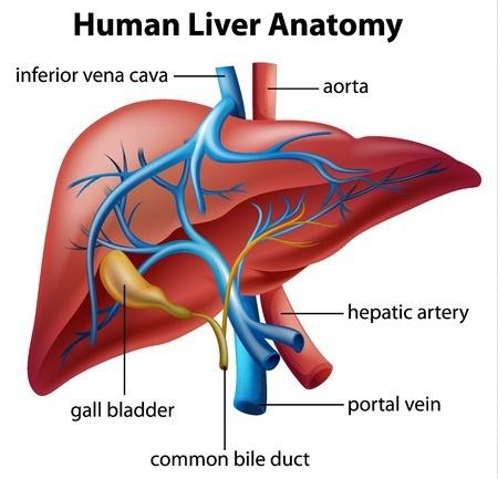 Liver And Gall Bladder Lilias Ahmeira Holistic Medicine Practitioner
