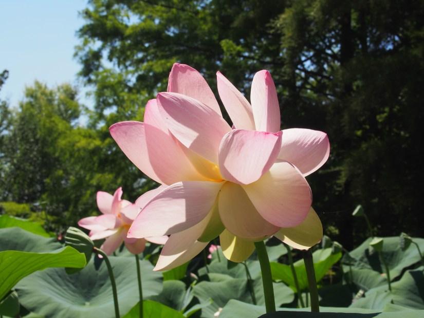 Lotus - Jardins des Martels