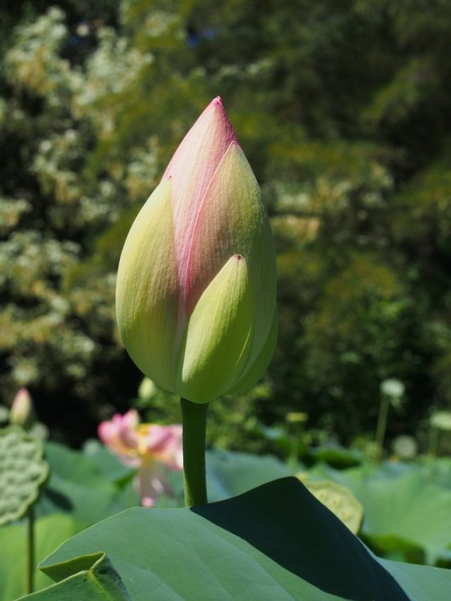 Fleur de lotus fermée