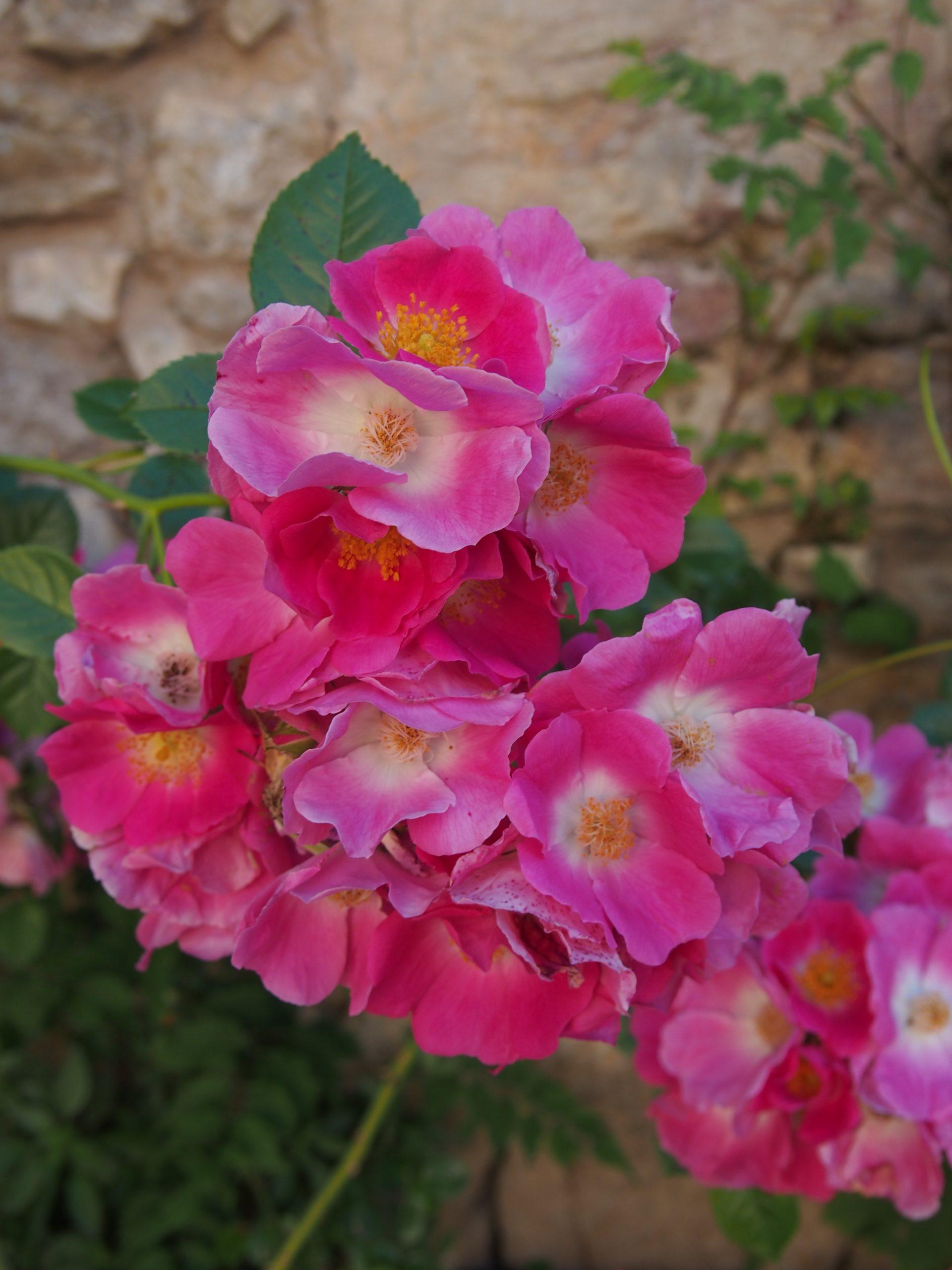 fleurs - Puycelsi