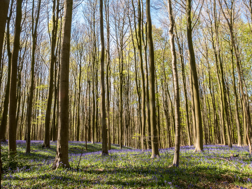 A day in the fairy-like Hallerbos, Halle, Belgium
