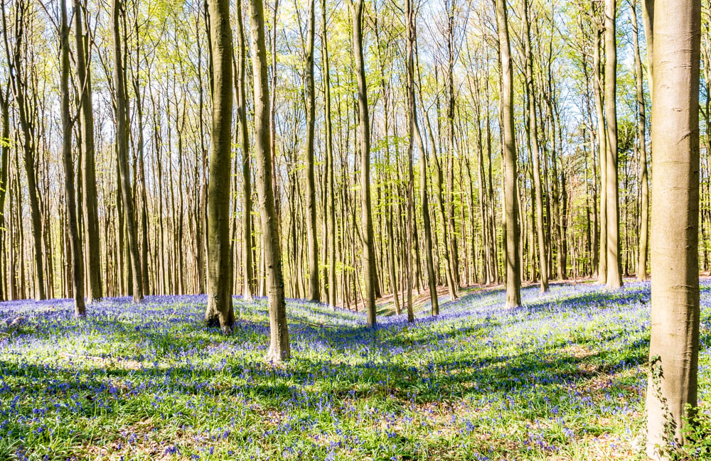Hidden gems in Europe - Hallerbos, Belgium - Best unique places to visit