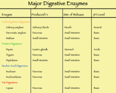 Major_digestive_enzymes[1]