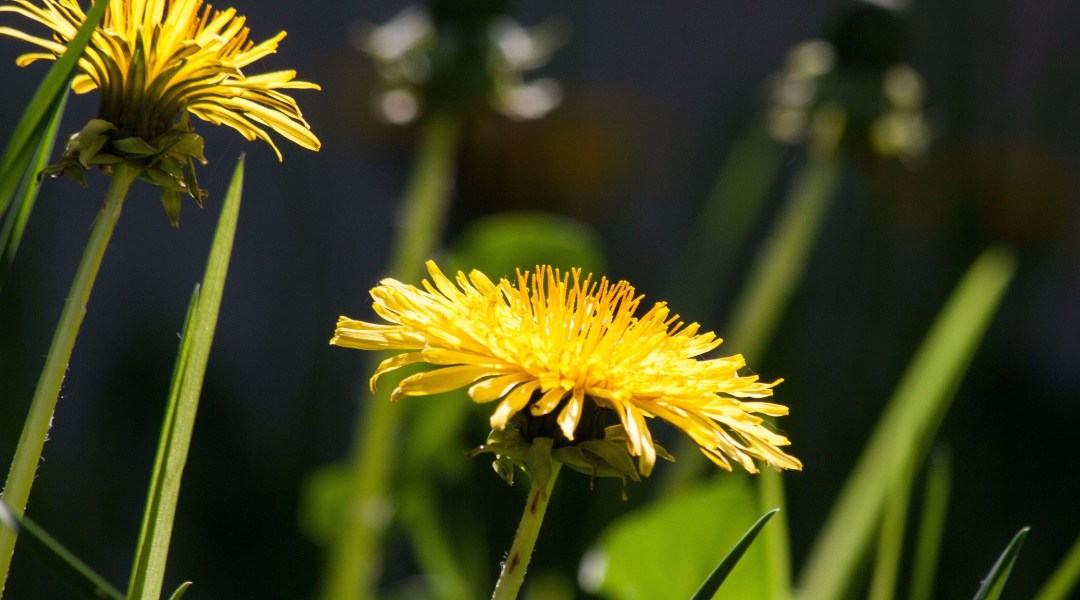 Save the Dandelions – Don't Mow the Grass!