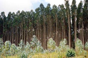 eucalyptus-globulus