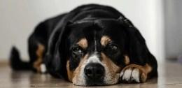 bored looking dog