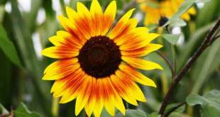 How-to-Make-Sunflower-Paper-Flower-origami