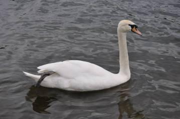 BUCS Swan