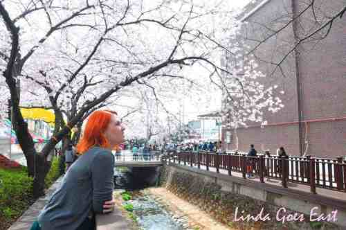 Jinhae Cherry Blossom | Linda Goes East