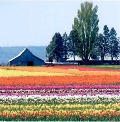 Tulip Fields, Skagit Valley, WA