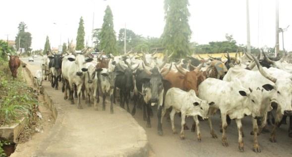 Amotekun seizes 100 cows in Ondo 1