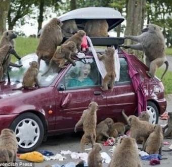 Residents flee their homes as monkeys invade Gbagada community inLagos