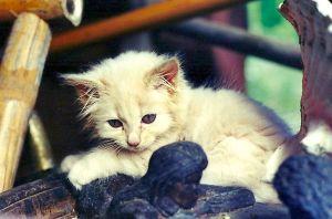 Lizzy - kitten_2