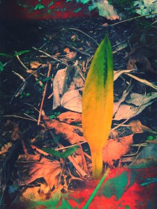 A photo that I may have messed with. Skunk cabbage from our garden.