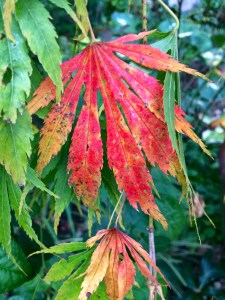 Acer palmatum 'Omurayama' beginning to turn color.