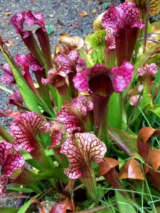 Carnivorous plants fall color