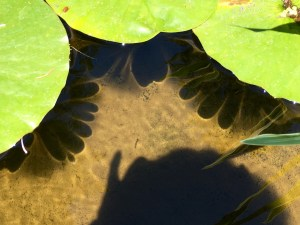 Waterlily leaves throw scalloped shadows