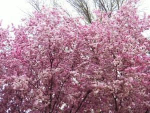 Crabapple tree fragrant & colorful blossoms
