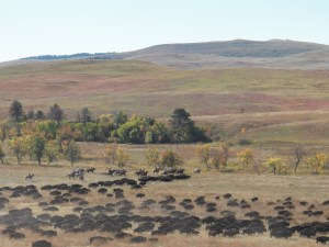 Annual Buffalo Round Up: Custer State Park, Custer, SD
