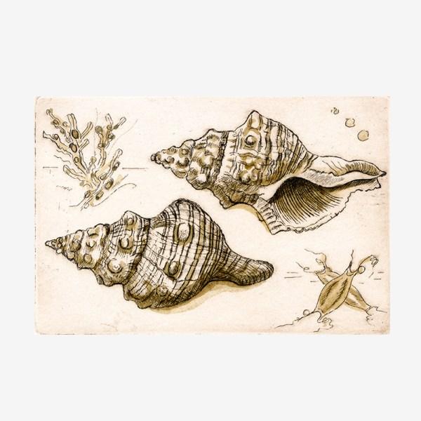 Shells Study I - etching