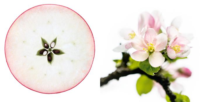 Night Serum Apple with seed; Nachtserum Apfel mit Samen