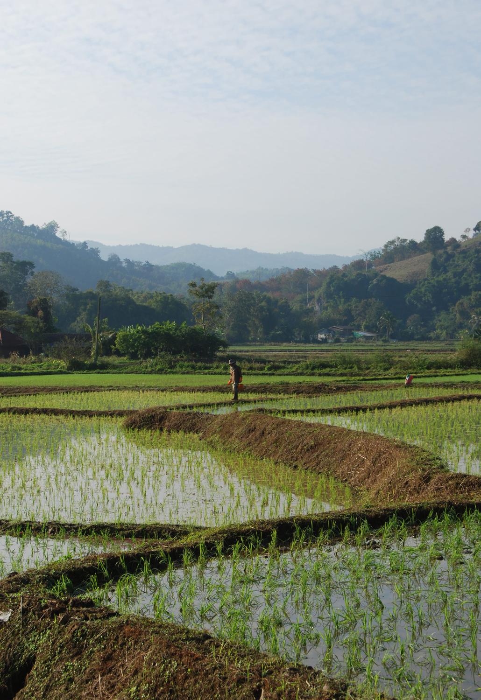 Rijstvelden van Chiang Rai Thailand