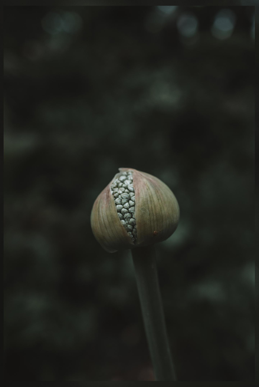 uienbol in knop macro fotografie