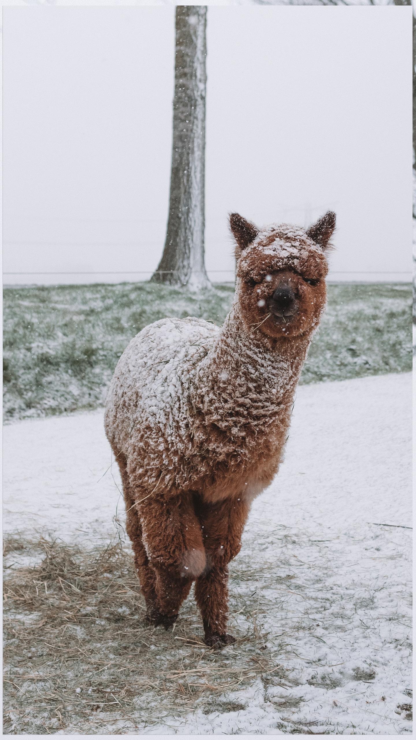 alpaca in de sneeuw