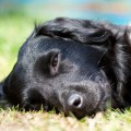 Black Lab resting on lawn, feng shui vacation