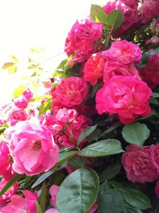 Cluster of deep pink roses